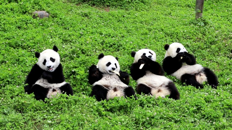 what-its-like-to-take-care-of-pandas