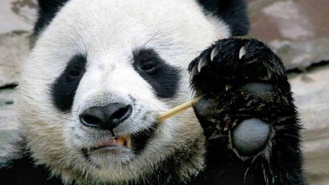a-giant-panda-died-after-failing-to-boost-his-sexual-drive