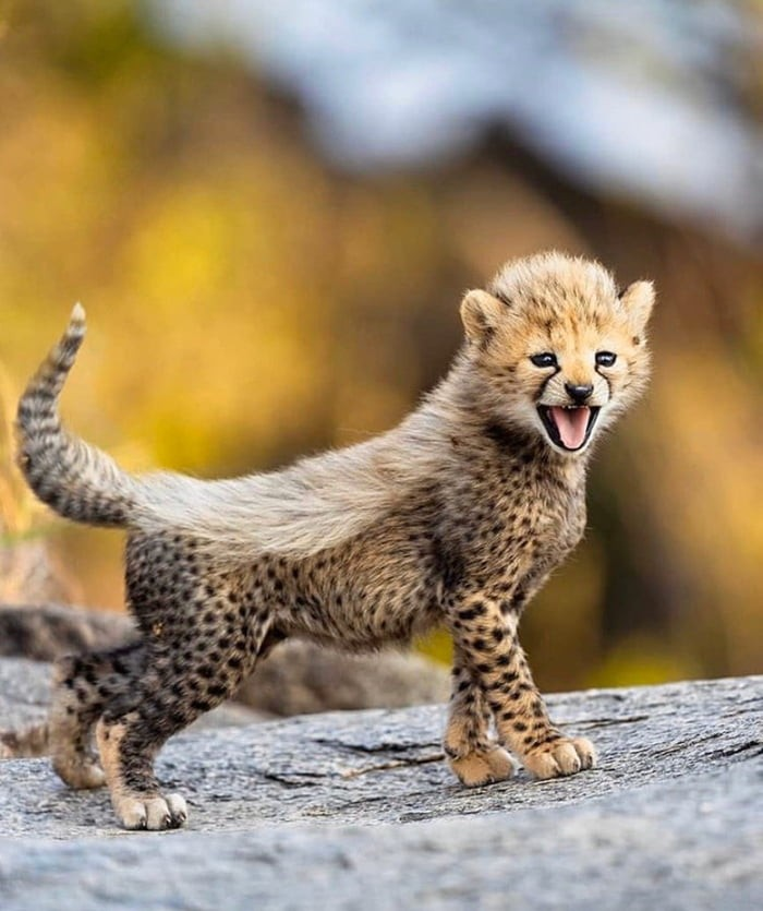 practicing-his-battle-roar