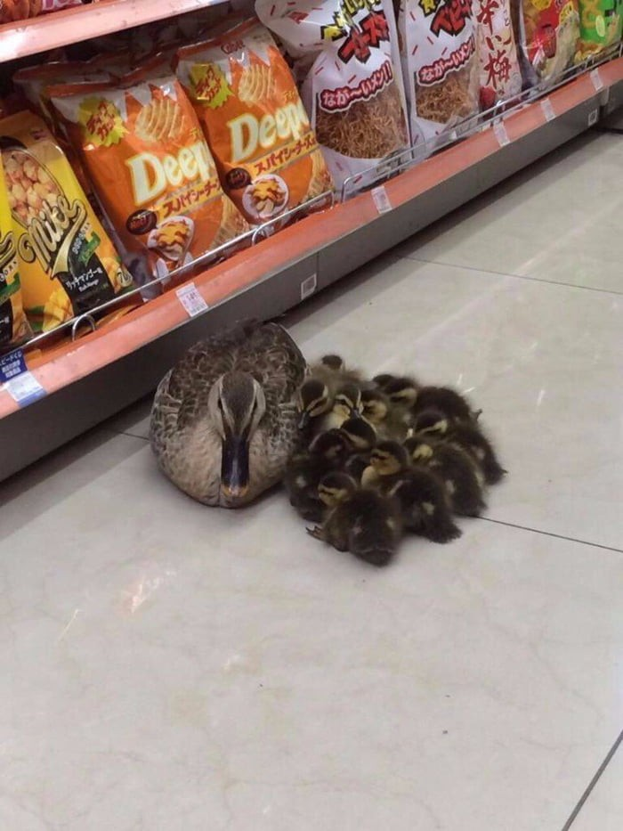 mama-duck-bringing-baby-duck-in-the-market-to-stay-warm