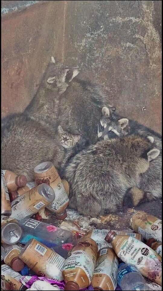 raccoon-family-taking-care-of-kitten