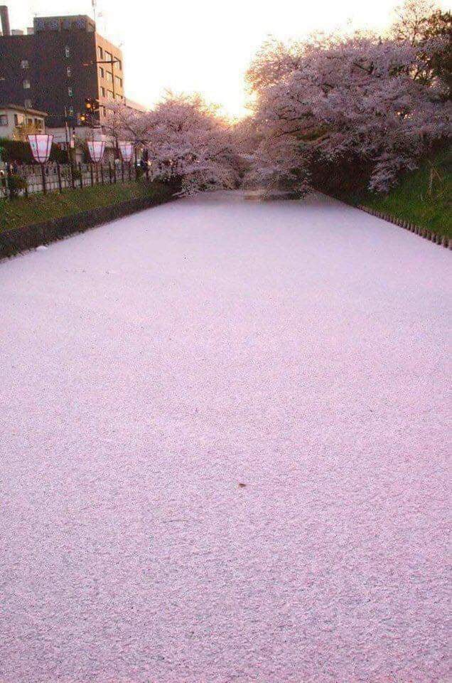 river-filled-with-cherry-blossoms-petals-in-japan