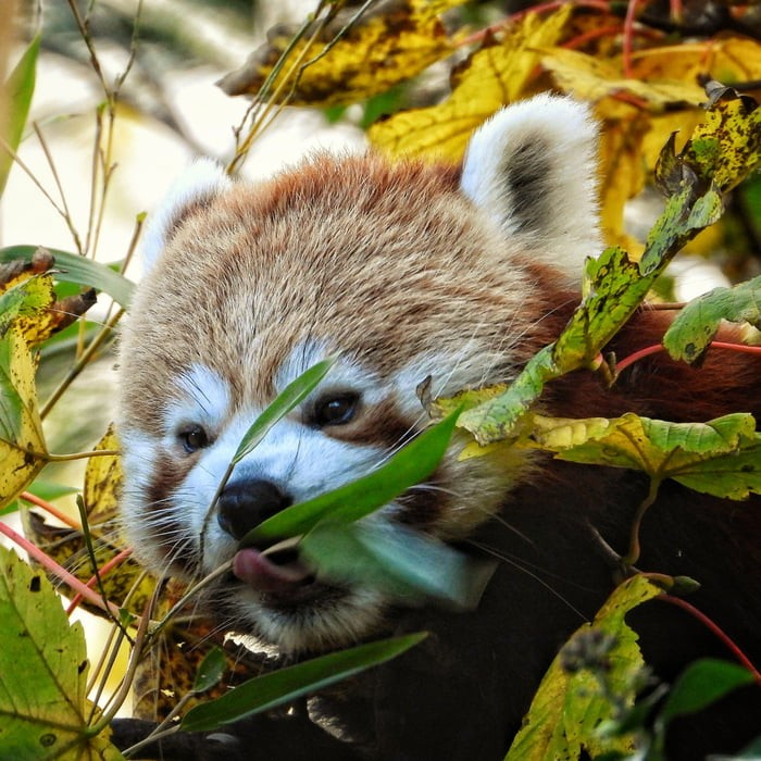 adorable-red-panda