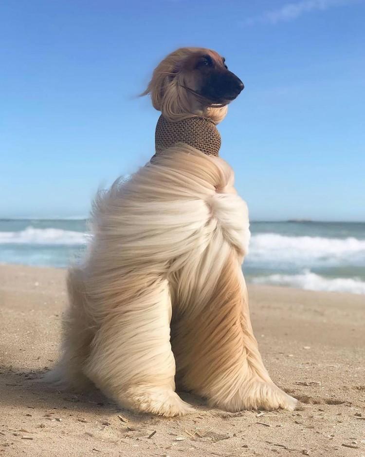 fluffy-dog
