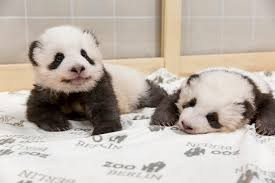 first-panda-twins-born-in-germany-play-together