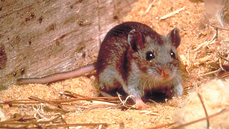 after-the-coronavirus-now-a-new-virus-has-come-in-the-market-hantavirus-killing-one-person