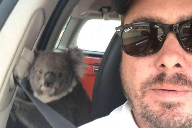 a-koala-climbed-in-a-car-drawn-by-the-air-conditioner