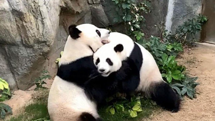 not-only-people-are-bored-during-the-lockdown-two-pandas-have-been-trying-to-mate-for-10-years-and-only-after-the-zoo-has-been-quarantined-they-finaly-did-it