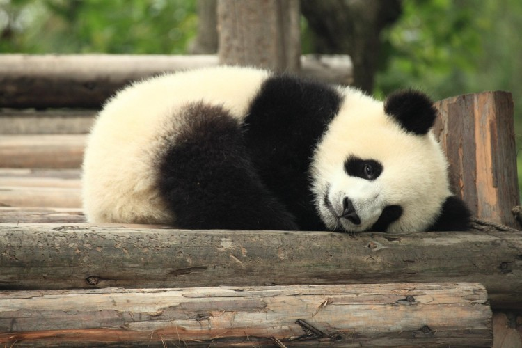 in-china-a-big-panda-cub-died-due-to-an-accident-during-a-game