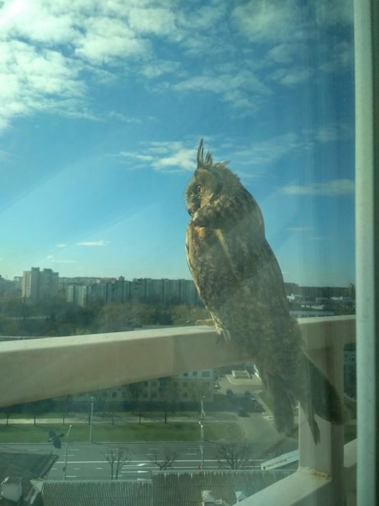 because-of-coronavirus-owls-began-to-return-to-minsk