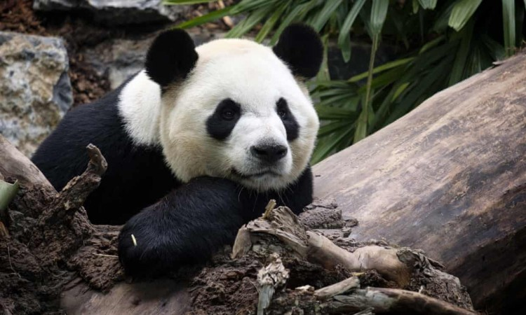 because-of-bamboo-shortage-canadian-zoo-in-planning-to-return-two-adorable-pandas-back-to-china