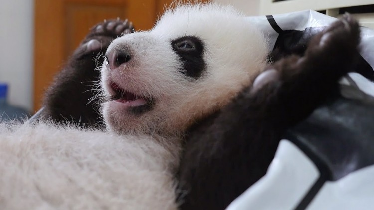 30-videos-with-baby-pandas-that-proves-they-are-the-cutest-animals