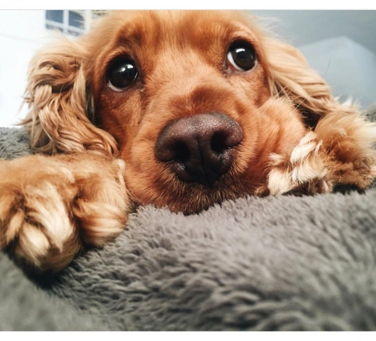 50-pictures-that-proove-that-cocker-spaniel-are-the-most-adorable-dogs-ever