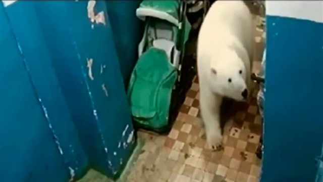 polar-bears-walking-down-the-street-in-a-village-in-russia
