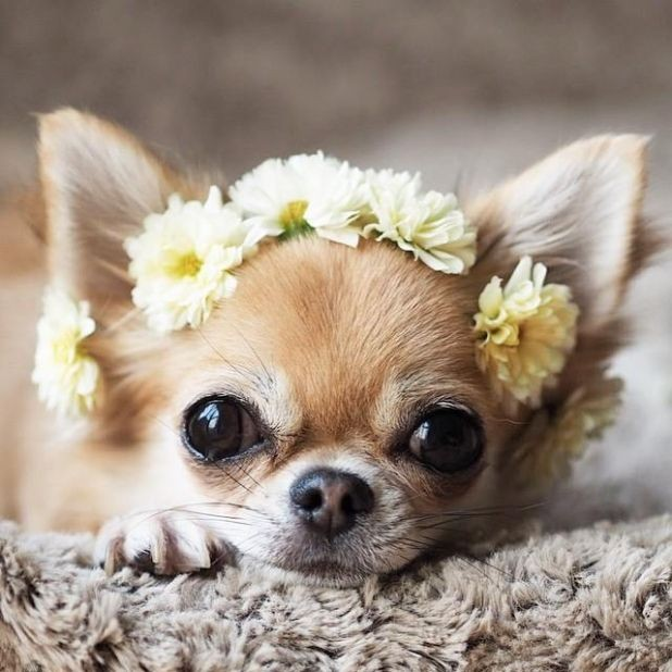 50-pictures-that-prove-that-chihuahuas-are-the-most-adorable-puppies-ever
