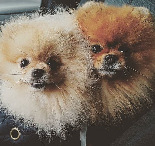 pomeranian-puppies-are-the-most-cute-dogs-ever-50-pictures-to-proove-that