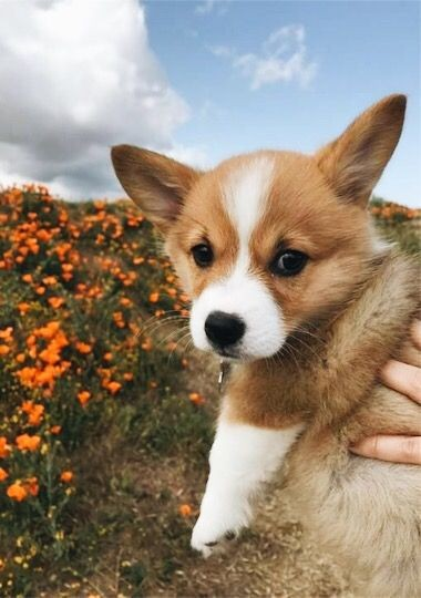 corgi-puppies-are-the-cutest-dog-breed-ever-compilation-of-top-50-photos