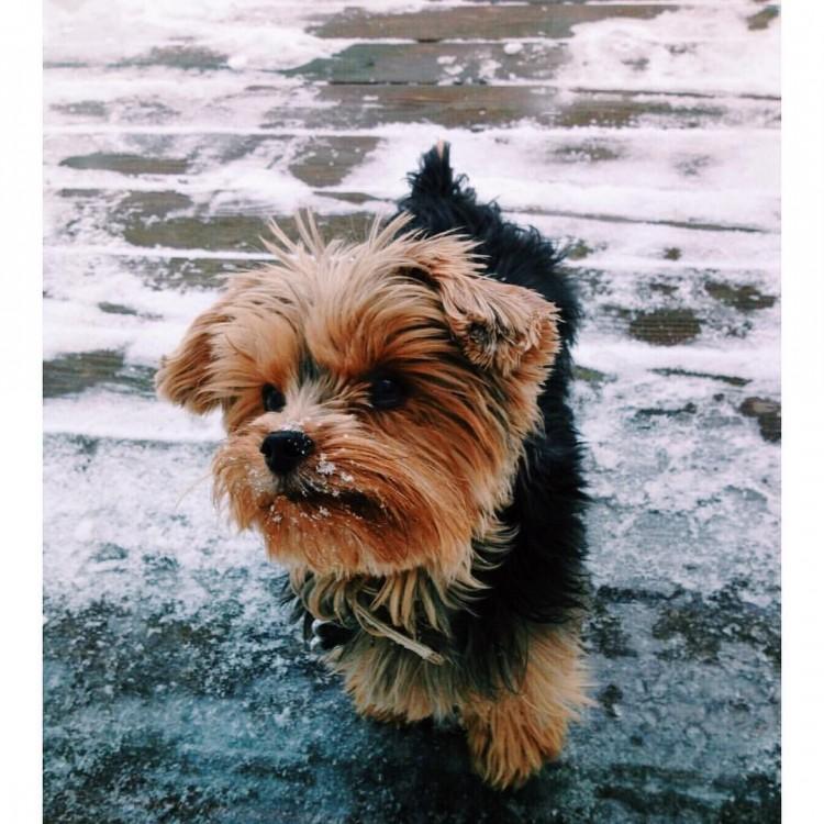 tiny-york-terrier-puppy