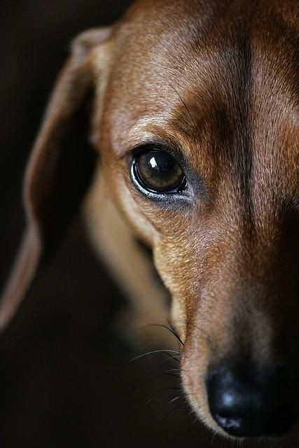 dachshund-or-how-they-call-them-sausage-dog-are-just-too-funny-50-photos-that-will-put-a-smile-on-your-face