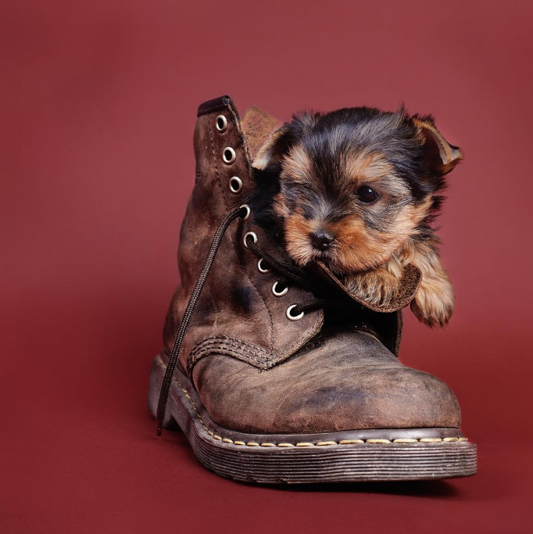 50-photos-with-yorkshire-terrier-that-will-make-you-buy-one-immediately