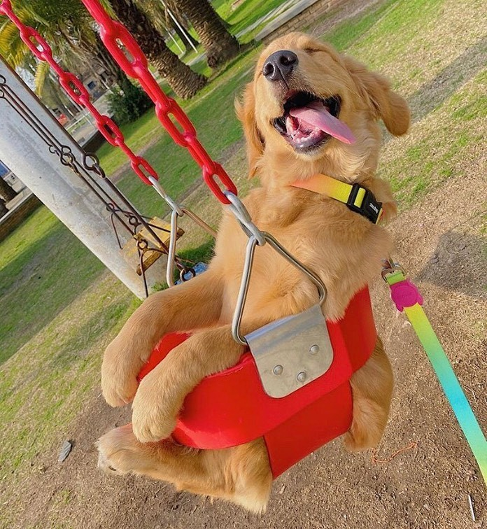 meet-the-happiest-golden-retriever-dog