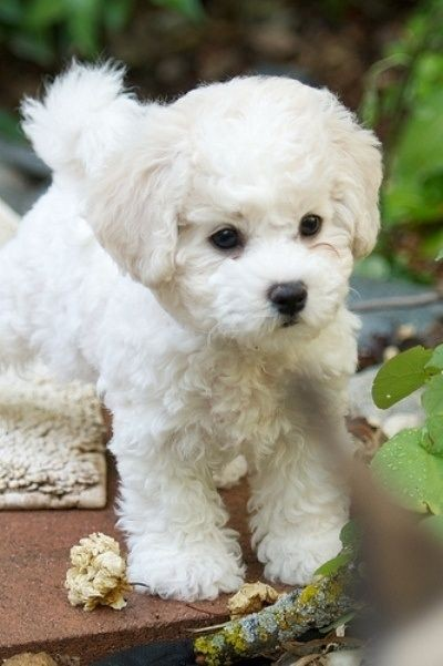 bichon-frise-the-personality-dog-is-a-cheerful-small-dog-breed-with-a-lot-of-love-to-give-50-photos