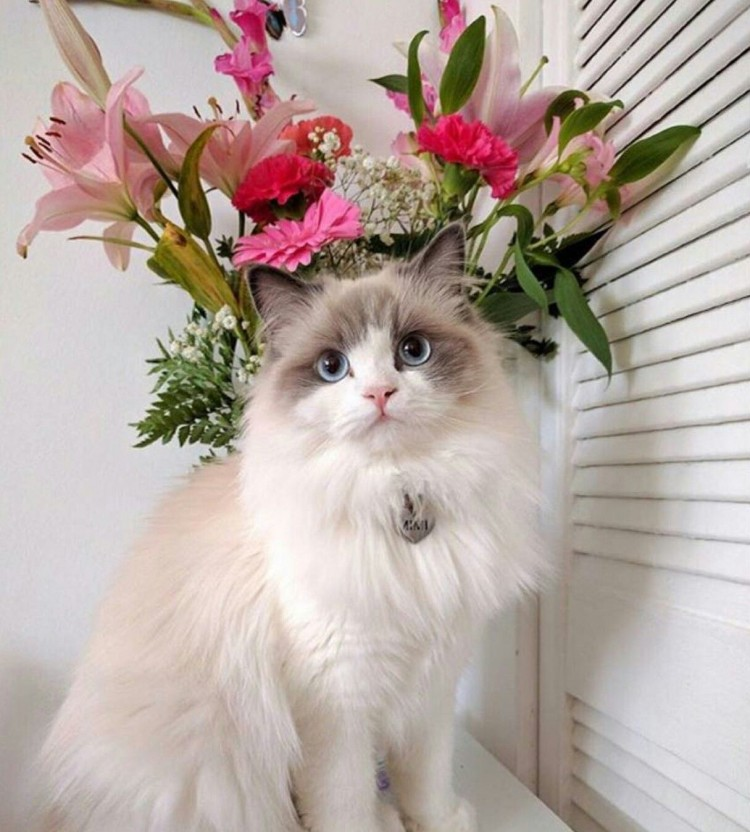 ragdoll-beauty