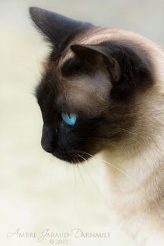 siamese-beauty