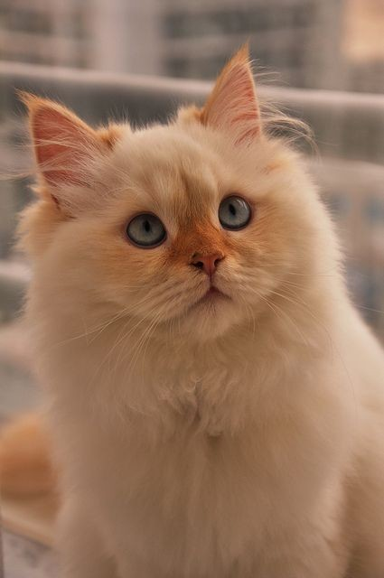 50-lovely-pictures-of-fluffy-persian-cats