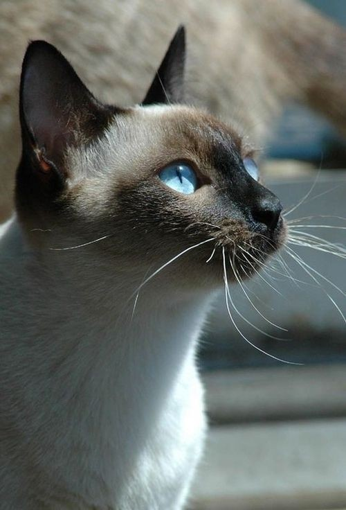 50-fascinating-pictures-of-siamese-the-most-beautiful-cat-breed