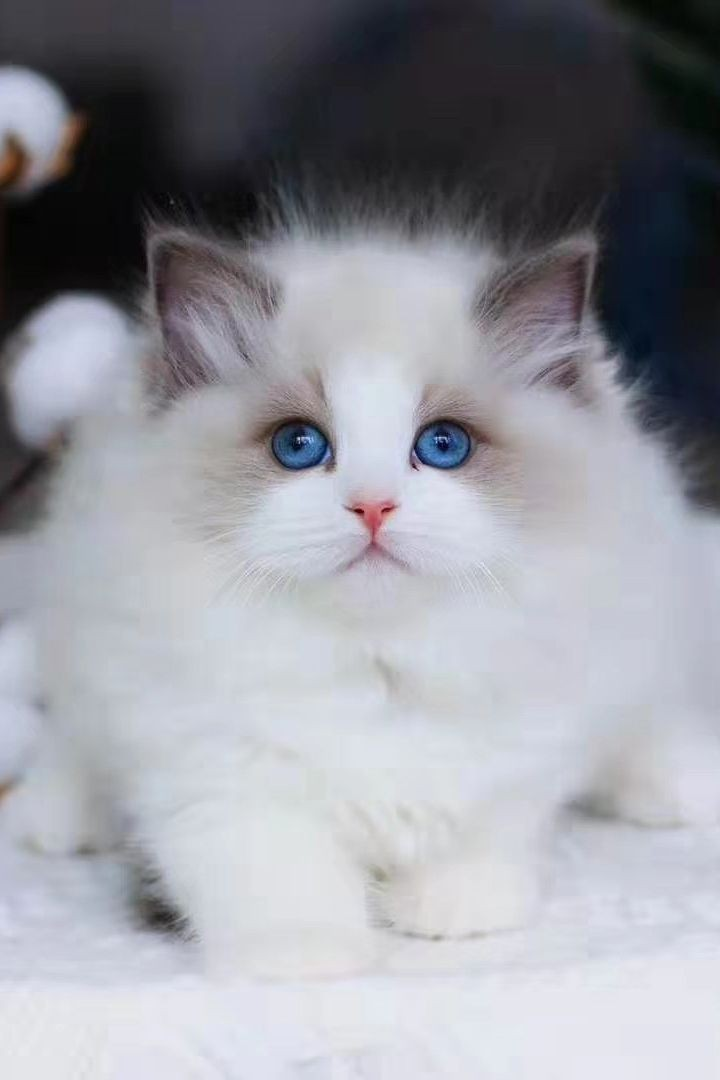 ragdoll-the-fluffiest-and-most-adorable-cat-50-pictures