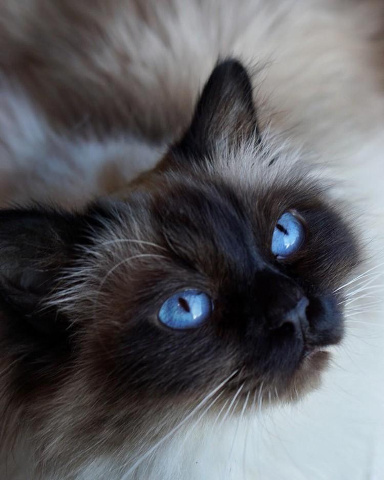 birman-with-deep-blue-eyes