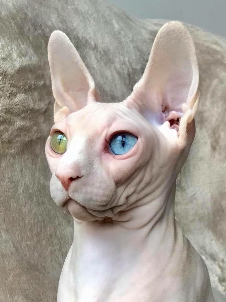 do-you-really-want-a-cat-but-are-you-afraid-of-the-hair-that-these-animals-leave-all-over-the-house-meet-the-sphynx-50-pictures