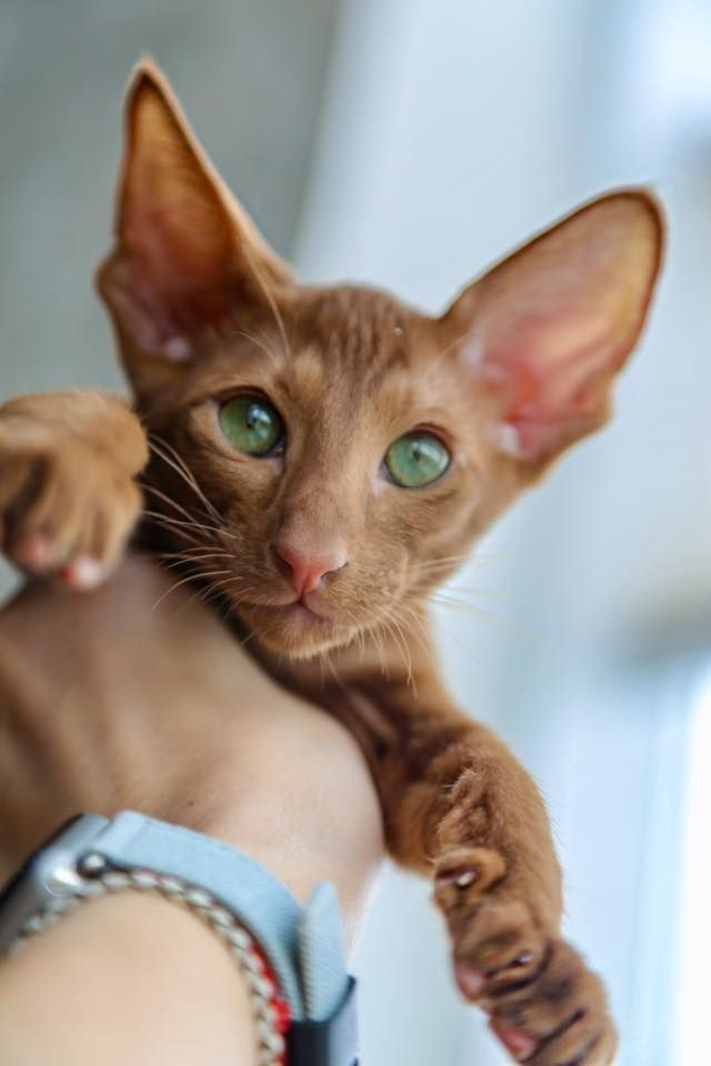 oriental-shorthair-is-a-exotic-cat-in-the-house-50-pictures-proving-this