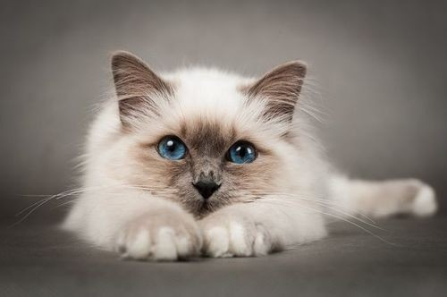 50-pictures-with-birman-the-perfect-cat-for-your-family