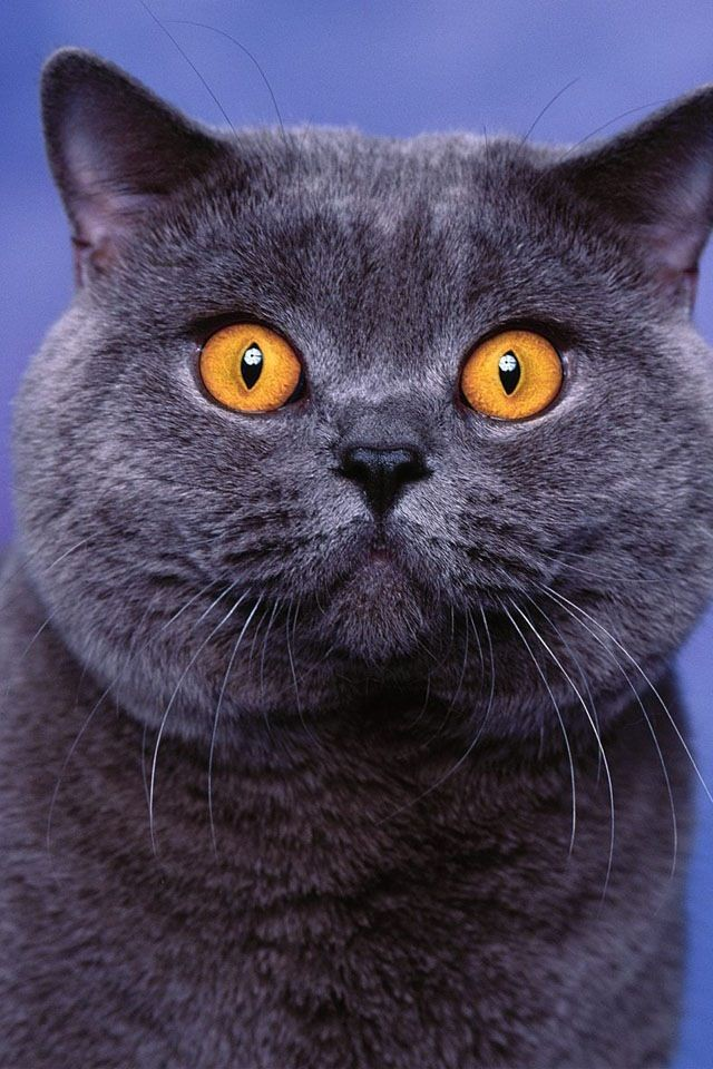british-shorthair-are-the-most-adored-cats-ever-50-pictures