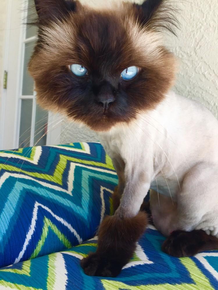 himalayan-cat