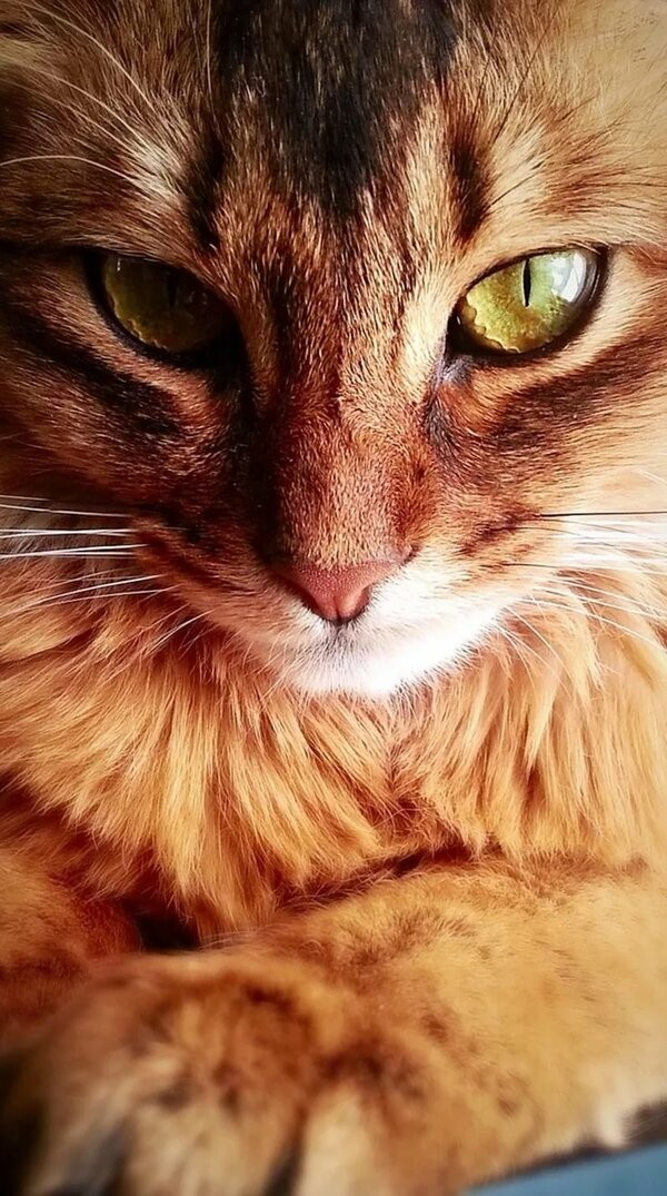 50-pictures-with-somali-cats-one-of-the-smartest-breed