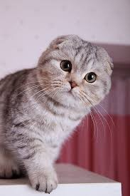 50-pictures-that-proove-that-scottish-fold-are-the-most-adorable-cats-ever