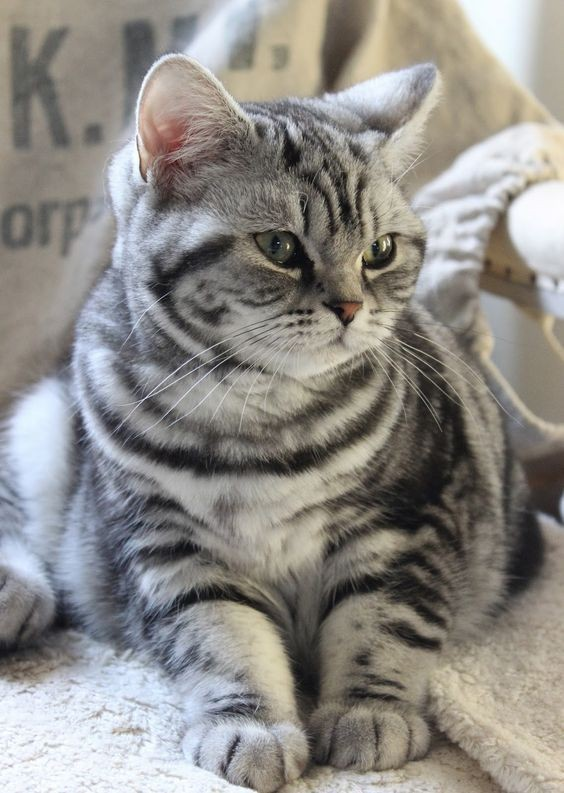 american-shorthair-is-a-reliable-companion-for-any-family-that-loves-cats-50-pictures