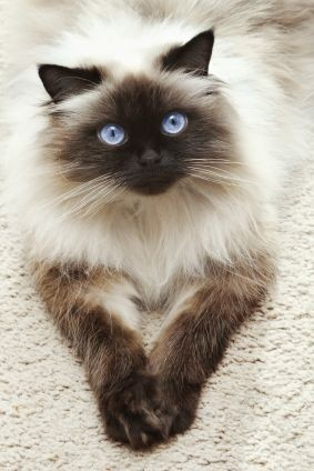 50-pictures-with-himalayan-cat-the-fluffiest-creature-ever