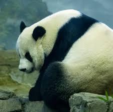 meet-the-cute-giant-panda-cub-born-at-smithsonians-national-zoo-in-washington