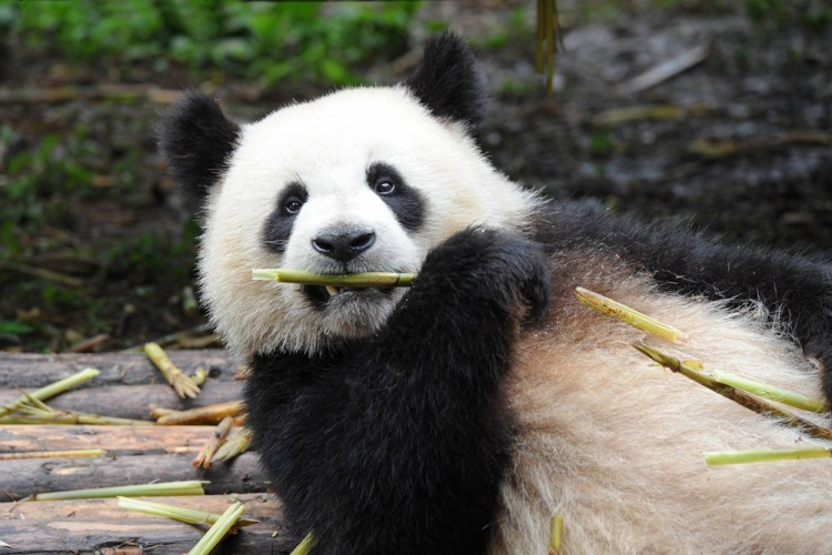 at-the-closed-zoo-in-hong-kong-due-to-coronavirus-pandas-have-begun-to-mate-for-the-first-time-in-10-years