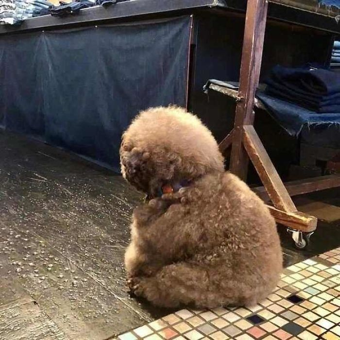 photos-of-the-poodle-went-viral-because-it-looks-like-a-human