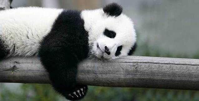 50-cute-facts-about-giant-pandas-that-will-make-you-fall-in-love-with-them