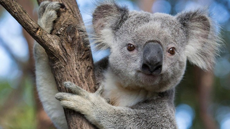 50-fascinating-facts-about-koala-that-shows-how-cute-they-are