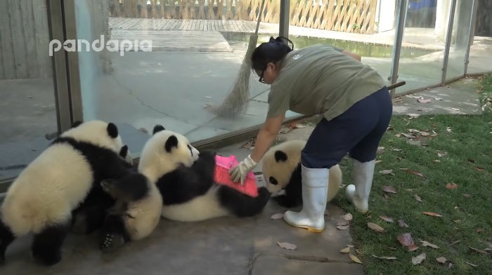 adorable-pandas-make-a-mess-as-the-zoo-keeper-tries-desperately-to-rake-leaves
