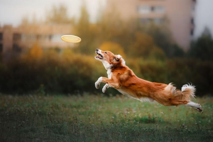 the-15-fastest-dog-breeds-in-the-world-bemorepanda