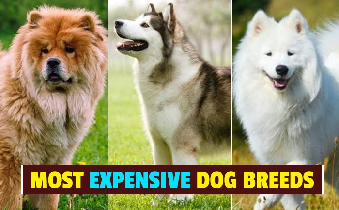 top-10-most-expensive-dog-breeds-in-the-world-bemorepanda