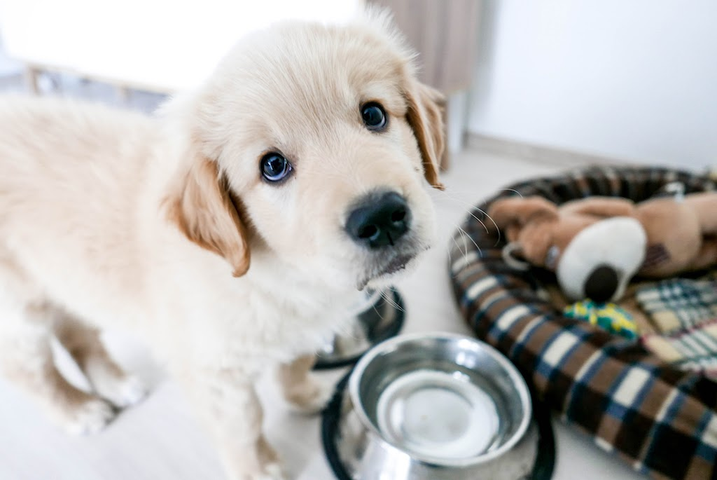 golden-retriever-food-bowl